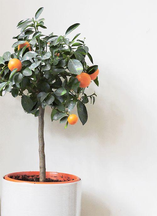 Best 25 Orange Trees Ideas On Pinterest Key Lime Tree