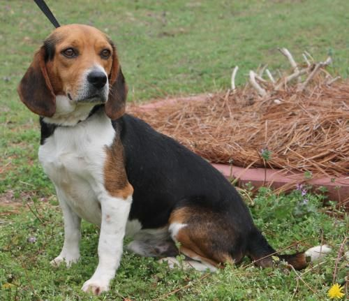 Meet Hunter 22077, a Petfinder adoptable Beagle Dog | Prattville, AL | Hunter is a 1-year-old male Beagle. He is tri-color--black, white, and brown. This is a very...