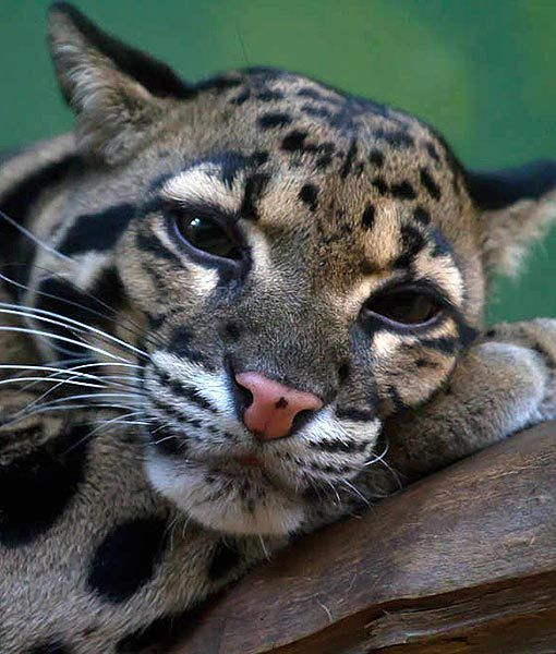 Oncilla, little spotted cat found in of Central and South America.