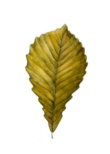 Botanical Art Hickory Leaf Original 5 x 7 от MindyLighthipe