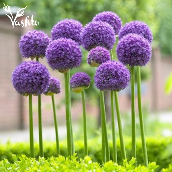 ALIUMS - Are part of the leek and onion family, these beautiful big purple balls make an incredible statement in a vase.