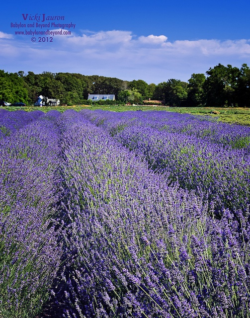 Lavender Fields on Long Island - Lavendar by the Bay, East Marion