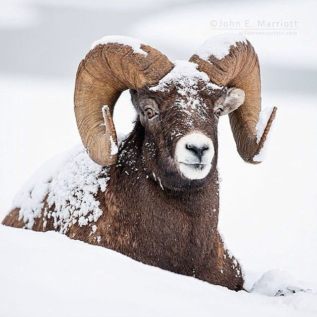 Big-horn sheep - a great Jasper wildlife encounter captured by @canadiancreatives team member, @johnemarriott.