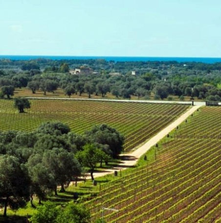 View of the vineyards from Le Fabriche #Puglia