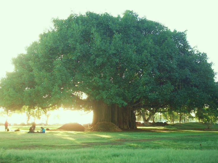 Old banyan tree, Ala Moana Beach, Oahu, Hawaii