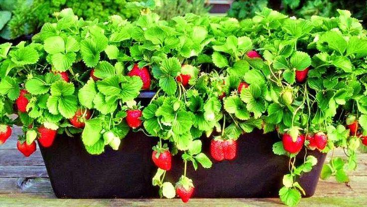 cultivo de fresas