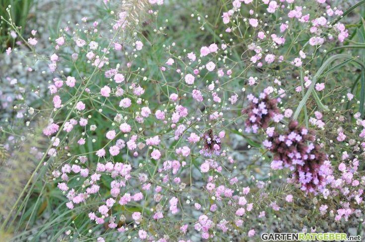 Schleierkraut Gypsophila paniculata
