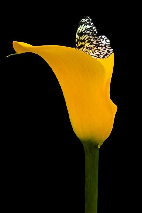 ~~Stillness Speaks ~ Butterfly on Yellow Calla Lily by Marie Dryfhout~~