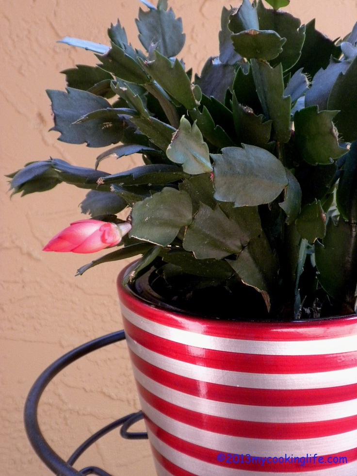 A Springtime Christmas gift! Amazingly after 3 years of no flowers, my Christmas cactus decided to bless us with a beautiful blossom.