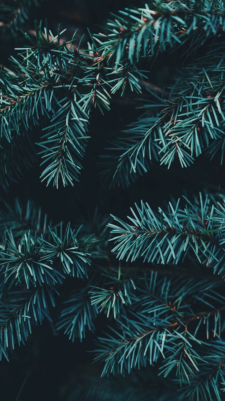 Iphone And Android Wallpapers Pine Tree Background For Iphone And Android Wallpaper Iphone Christmas Preppy Wallpaper Tree Wallpaper