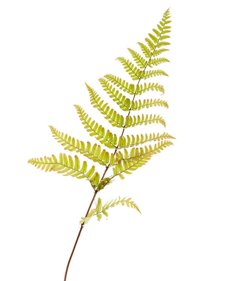 FERN Meaning: Magic