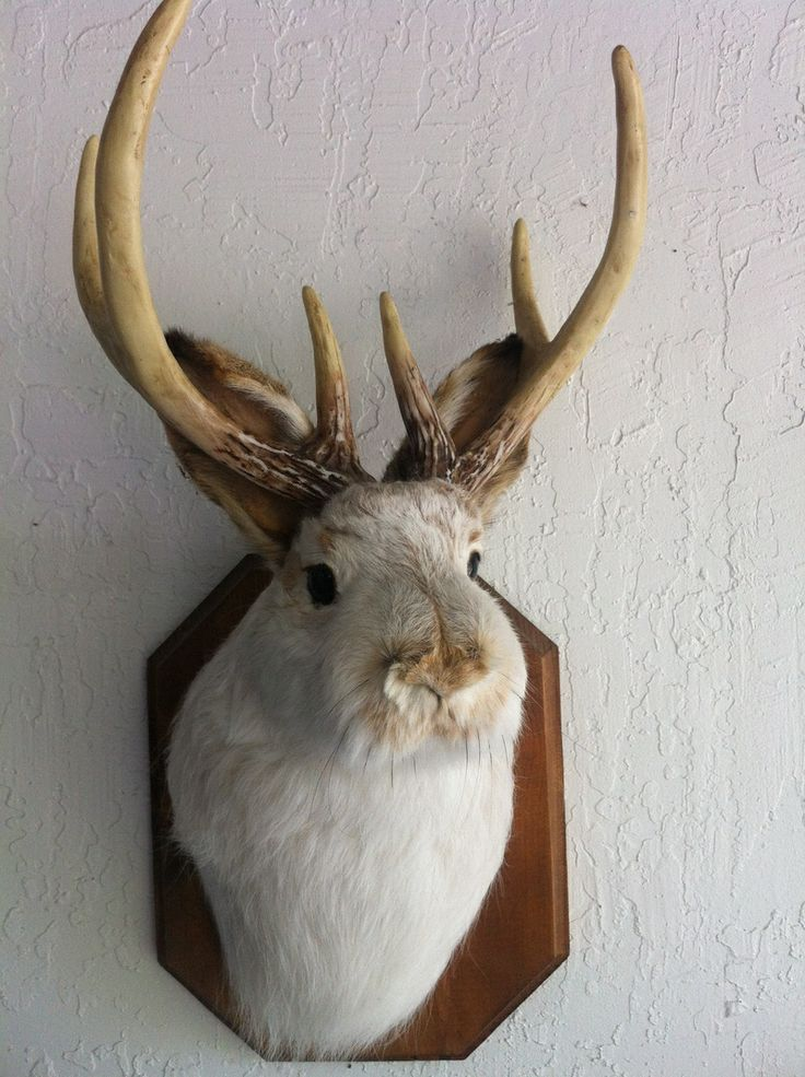 17+ Is a jackalope a real animal ideas in 2021