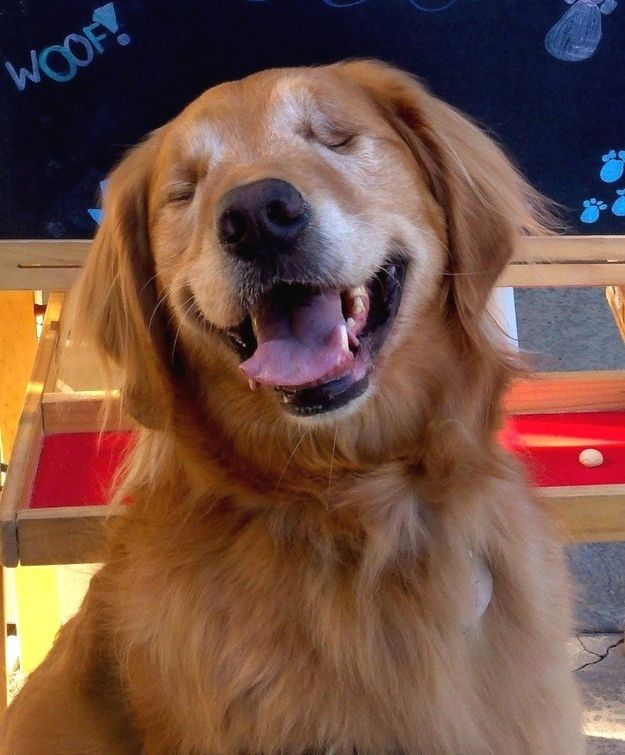 Best Dog Heroes Images On Pinterest Working Dogs A Dog And - Born blind smiley the golden retriever becomes a loving therapy dog