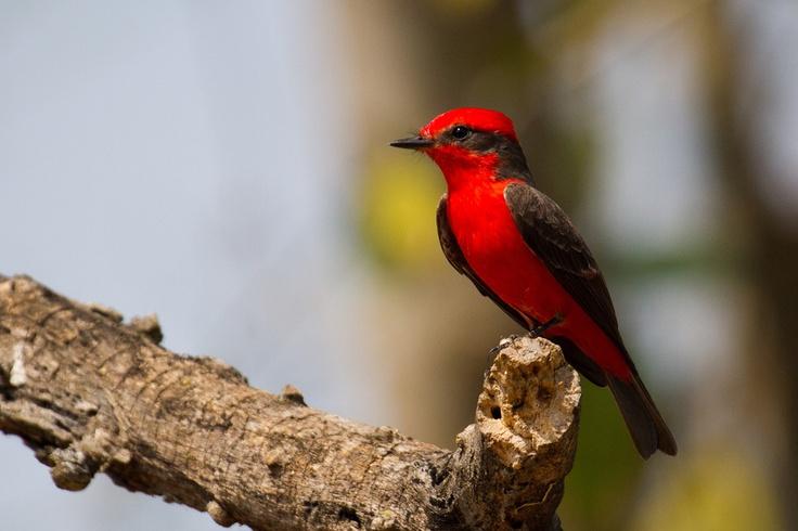 Vermilion Flycatcher photographed in the Brazilian Pantanal
