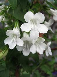 Asarina scandens 'Snow White' - This vine quickly grows to 8 feet tall and about 6 feet across. Grow it with a climbing rose for an outstanding display.