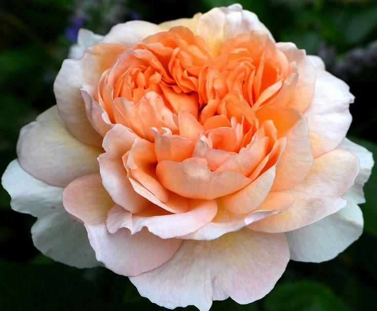 Rose The Lady Gardener Roses And Flowers Pinterest