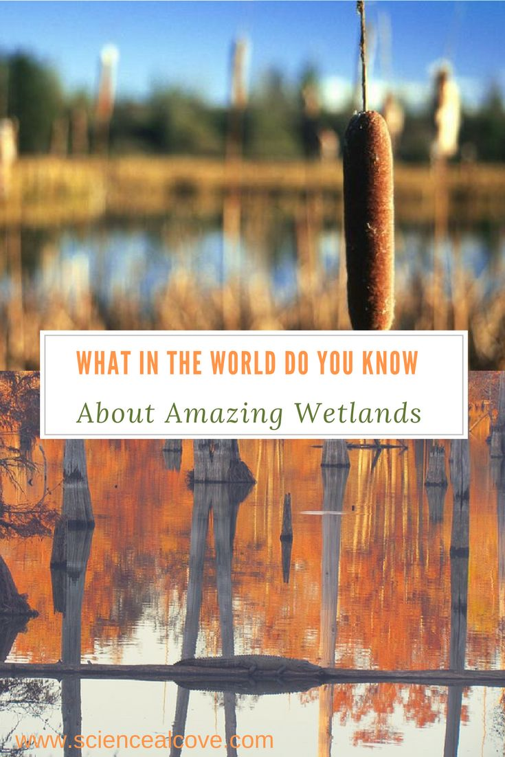 Wetlands are an important feature of any landscape. Park areas often contain them. Many school activities involve wetlands. Making a model or design of an area to incorporate wetlands can be important to understanding them. #science #sciencequiz #wetlands #wetlandmodel #wetlanddesign