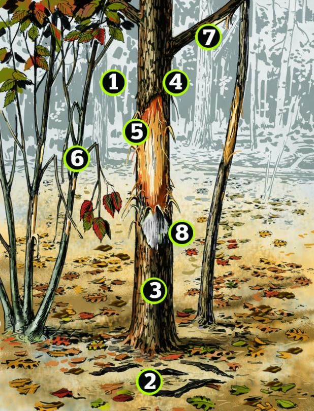 Whitetails: What Rubs Can Tell You About Rack Size Article by Bill Vaznis