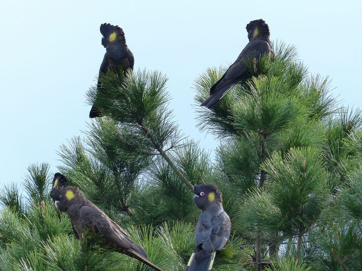 https://flic.kr/p/vwiDdS | More Yellow Tailed BLack Cockatoos | A closer shot of 5 of them, ( one is concealed by a female's head).  I can see 2 male and 2 female here. You can see the bright pink ring around the male bird's eyes
