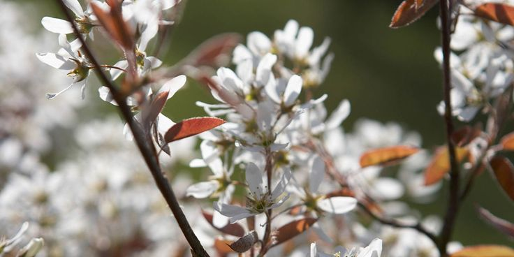 Amelanchier X Grandiflora – This small tree does well in semi-shade, tolerating deeper shade in summer. Best bought multi-stemmed, unless space is limited, it provides clouds of white flowers and coppery young foliage in spring, summer berries and vivid autumn colour
