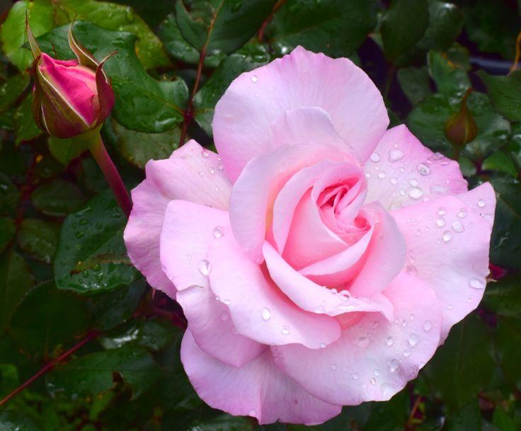 Raindrop Rose bud by Wendy Allen on 500px