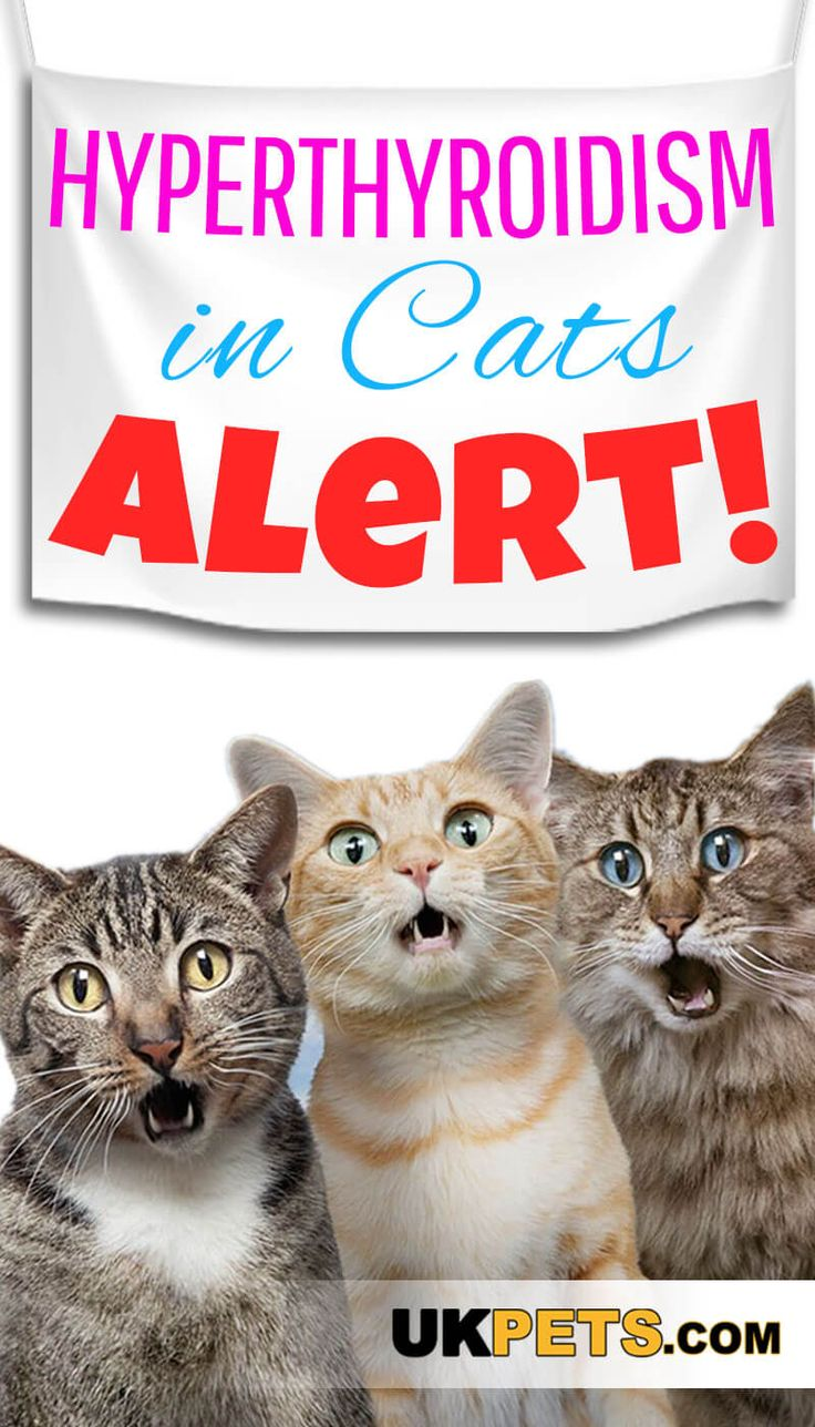 Hyperthyroidism in Cats Symptoms and Treatments Cat