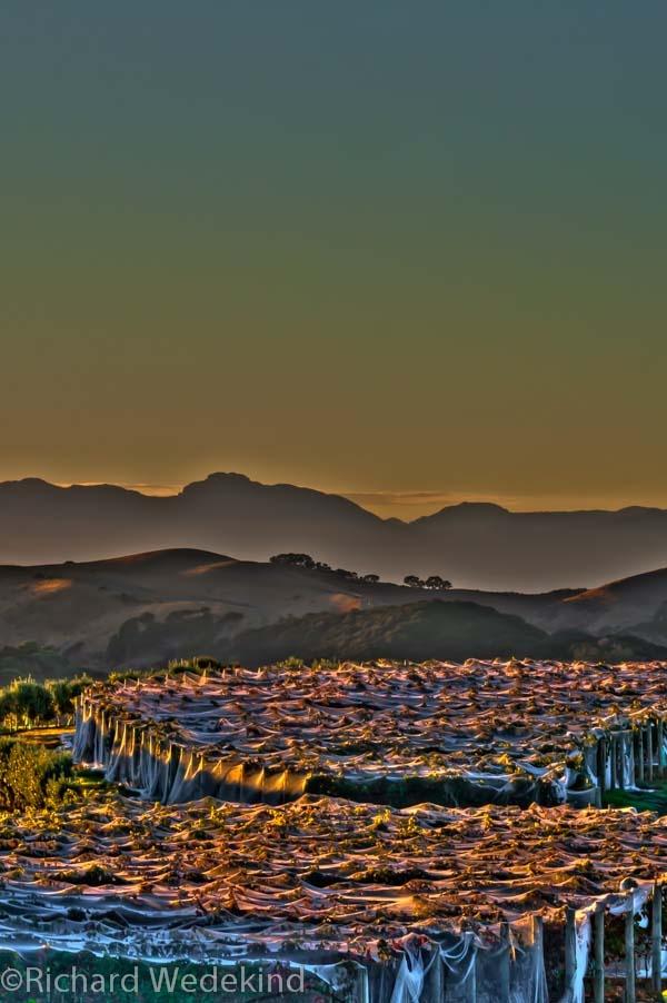 Shrouded Dawn. Netted grape vines above Orapiu Bay on Waiheke Island, New Zealand. Hills behind are Ponui Island and the distant Coromandel Peninsula.