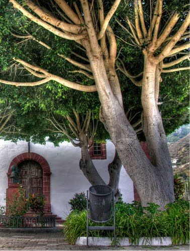 Tree, Santa Cruz de  Tenerife, Spain