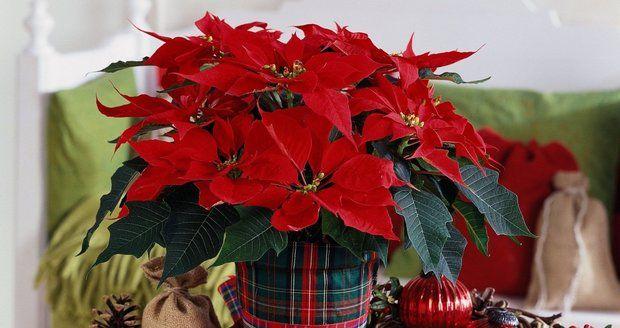 5 rad, díky kterým vaše vánoční hvězda přežije svátky  Více na http://hobby.blesk.cz/clanek/hobby-jak-na-to/359714/5-rad-diky-kterym-vase-vanocni-hvezda-prezije-svatky.html?utm_source=hobby.blesk.cz&utm_medium=copy