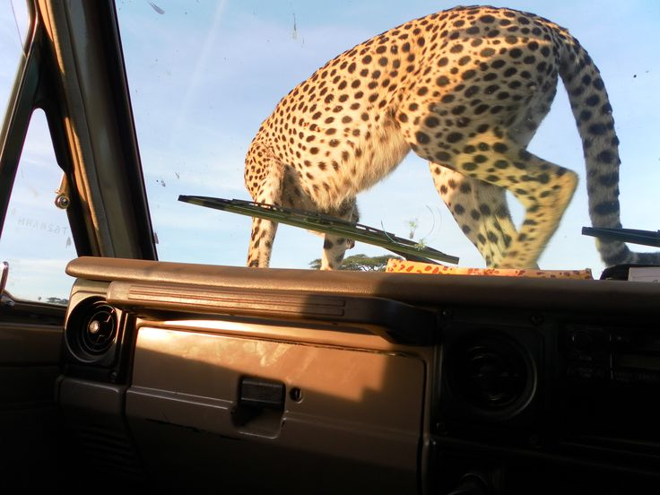 Cheetah jumped up to our safari jeep.
