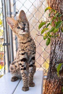 El serval (Leptailurus serval, en ocasiones llamado Felis serval) es una especie de mamífero carnívoro de la familia Felidae. Es la única especie de su género pero emparentado con el gato doméstico