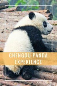 The Chengdu Panda Experience.  #panda #chengdu #china #wildlife  #traveltips #backpacking