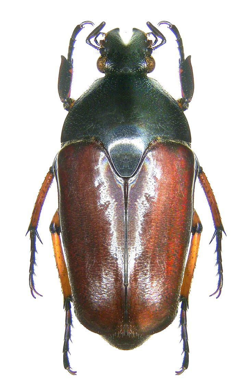 Ischiosopha castanea