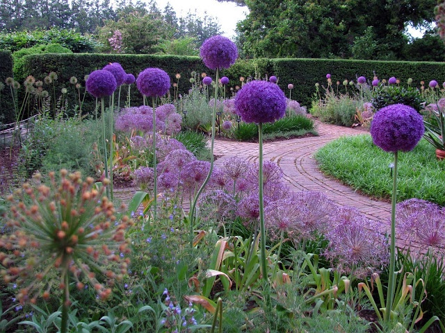 29 best images about landscape and garden ideas on pinterest kangaroo paw onion flower and sun - Tough perennial bloomers drought insect and pest resistant flowers ...