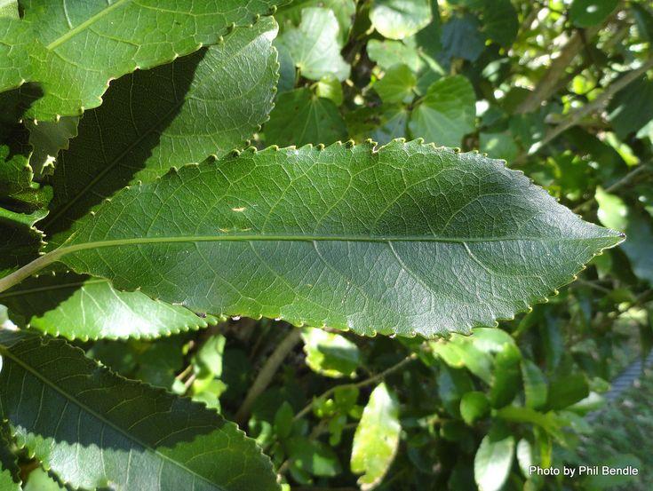 Mahoe/Whitey Wood (Melicytus ramiflorus)