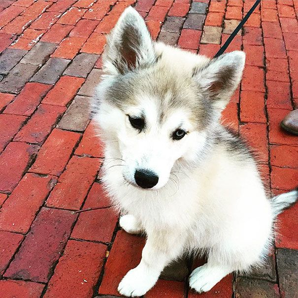 Cute Husky Puppy