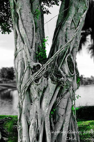 Old Soul  Boca Raton, Florida... My favvvvvorite tree. So pretty