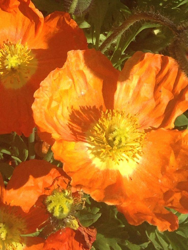 Iceland Poppy , glowing in the sunlight