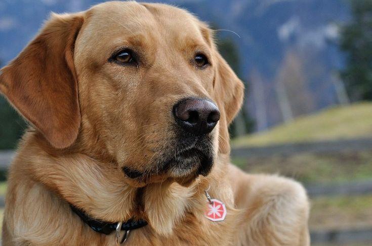 Razas de perros más bonitos del mundo: Labrador