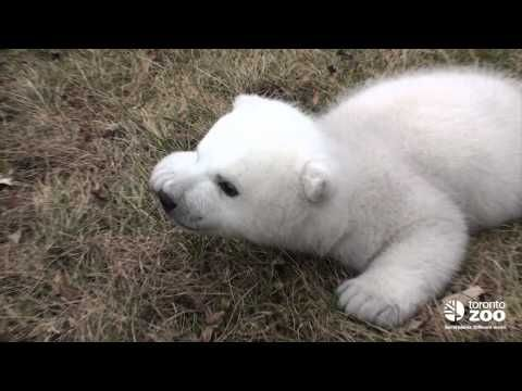 Toronto Zoo polar bear cub 2 months.  Apparently polar bears crawl like babies until 4 months.