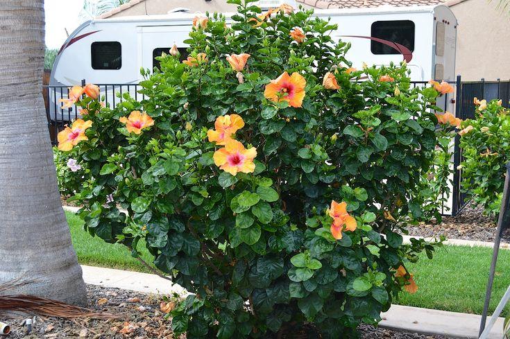 19 Best Hawaiian Garden Images On Pinterest Plants