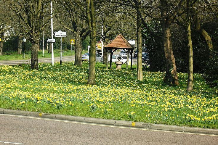 Daffodils, Woodford