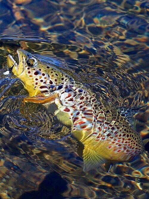 Pretty brown trout on the fly.                                                                                                                                                                                 More