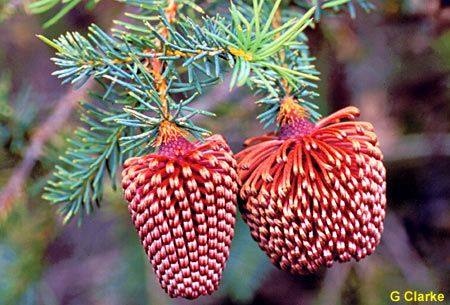 Nodding banksia (banksia nutans) like natural Christmas tree ornaments! Native to Western Australia.