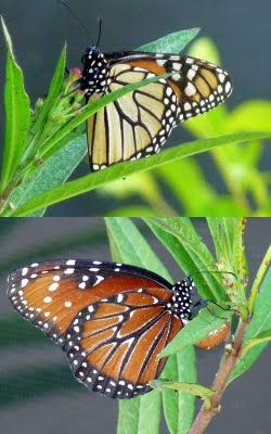 Can you tell the difference between a Monarch butterfly and a Queen butterfly? Click through to our blog where Jill tells you how!: Beautiful Butterflies, Butterflies Moth Insects Etc, Butterflies Photography, Butterflies Ladybugs, Queen Butterflies, Monarch Butterflies, Butterflies Flying,  Monarch Butterfly, Butterflies Danaus