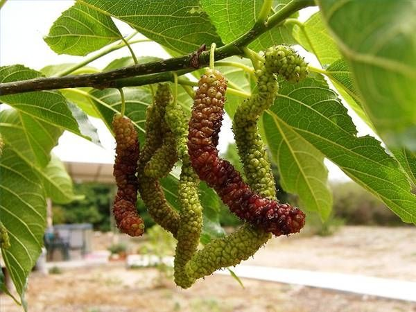 Mulberry Tree Planting