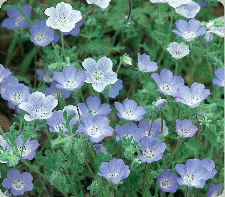 Baby blue eyes nemophila insignis hydrophyllaceae