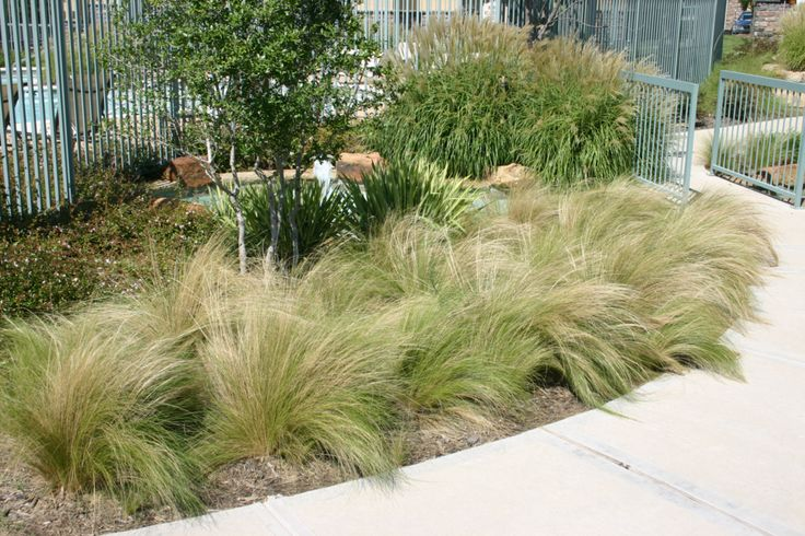 Nassella tenuissima mexican feather grass design for Landscape design using ornamental grasses