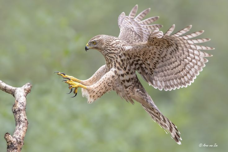 """Incoming.... - """"Incoming"""".... a juvenile northern goshawk female (wild animal) is coming in for a landing. I love goshawks.....:-) You have got to love nature and its creations. Have a great day, my friends."""