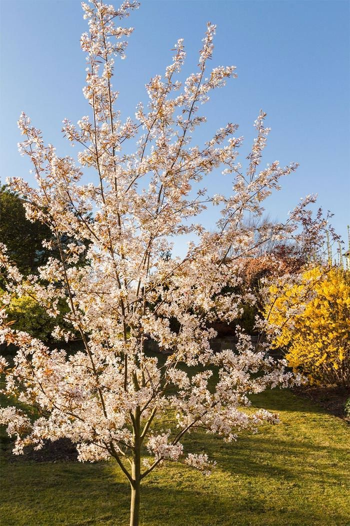 Amelanchier Trees For Sale Uk Small Ornamental Flowering Trees The Right Choice Of Colours Small Garden Trees Uk Small Garden Uk Small Trees For Garden